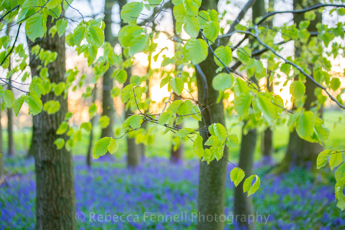 new growth on trees and bluebells