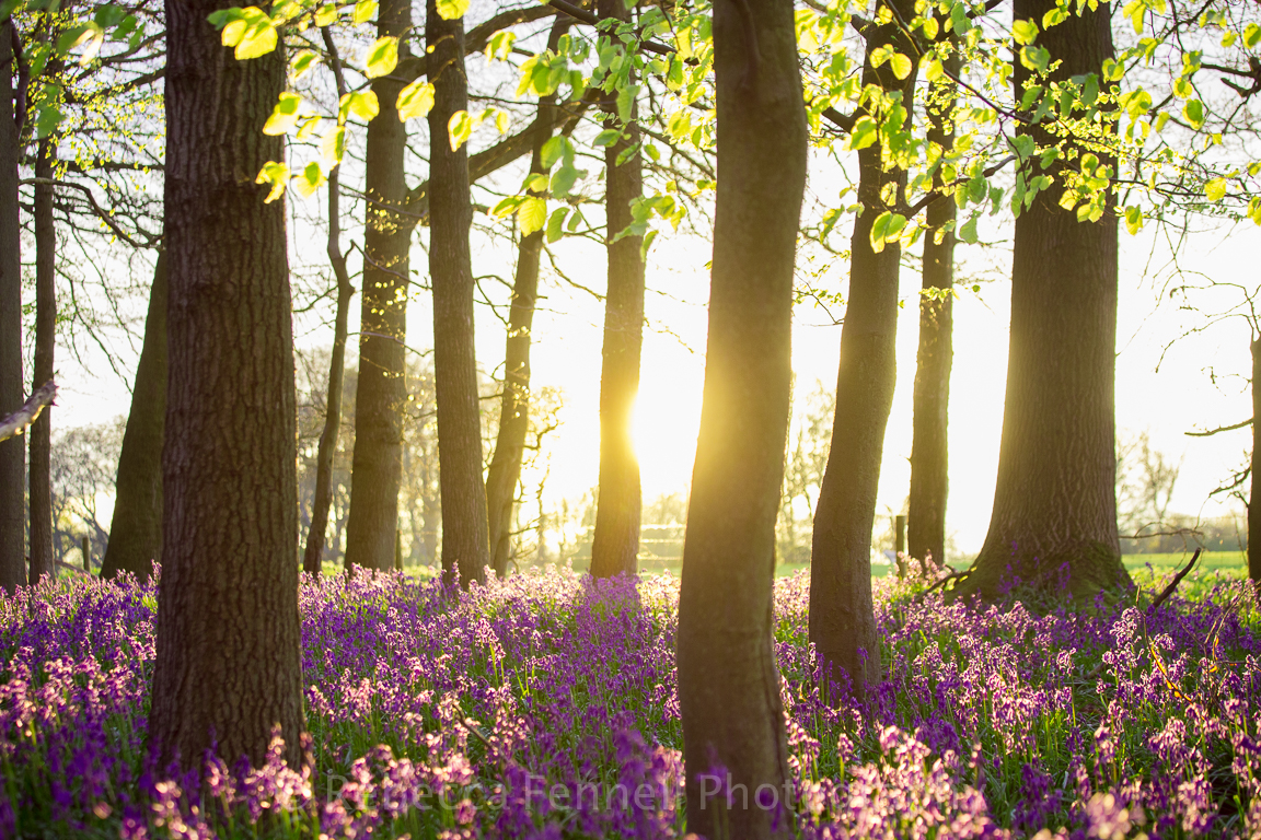 sun shining through trees onto bluebells