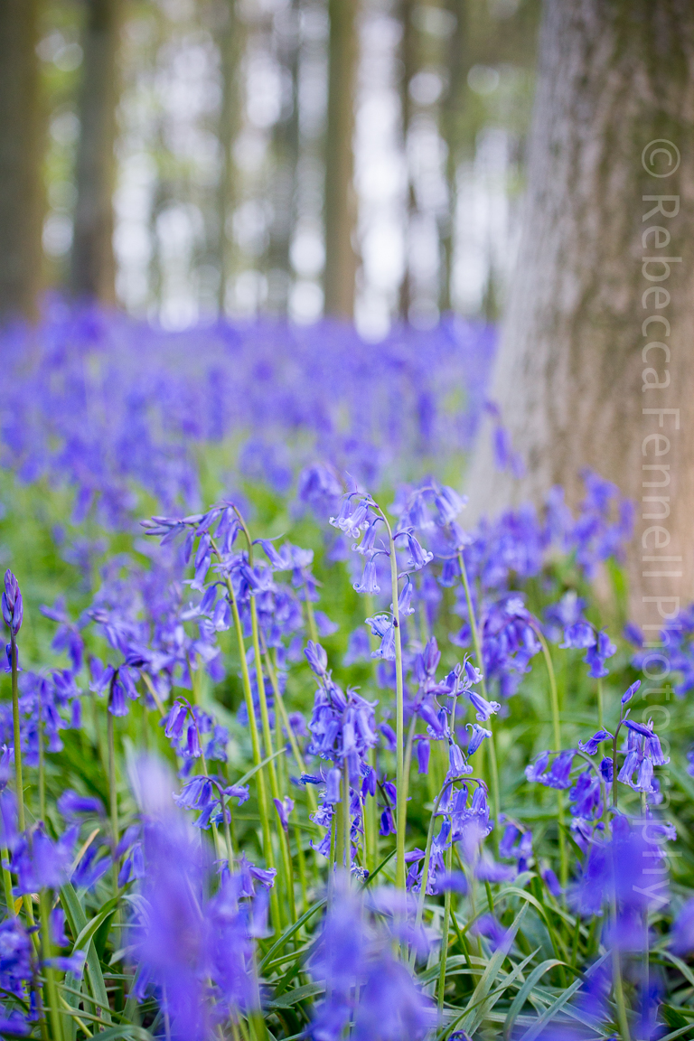 close up image of bluebells