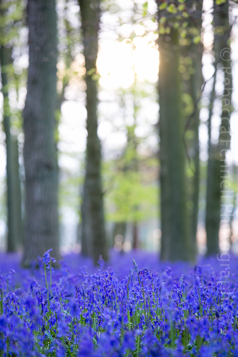 picture of bluebells taken from a distance
