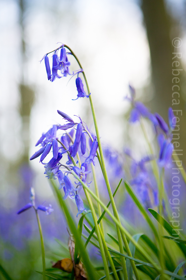 beautiful bluebell plant