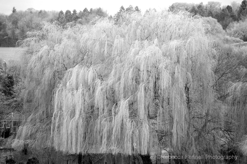 black and white weeping willow covered in ice