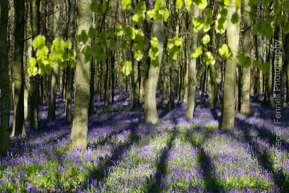 tree shadows falling on bluebells