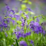 beautiful bluebell fronds